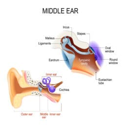 Middle ear. Three ossicles: malleus, incus, and stapes (hammer, anvil, and stirrup)